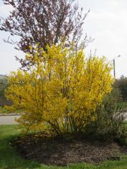 240_Forsythia X intermedia_1_05-07-2012_21-10-44.jpg